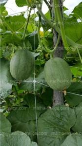 Malha treliça fornece melhores colheitas de apoio